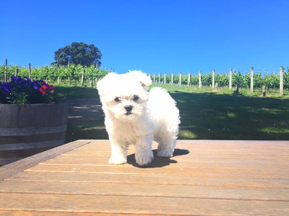 Mista - Wine Dog